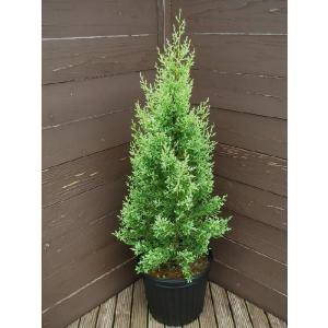 コニファー サルフレア80センチ(コニファ 植木 庭木常緑 シンボルツリー クリスマスツリー)|finegarden