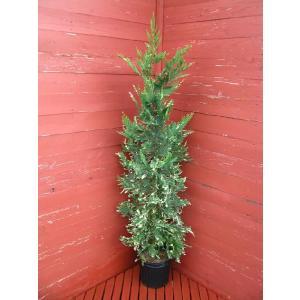 コニファー シルバーダスト(コニファ 植木 庭木常緑 シンボルツリー クリスマスツリー) finegarden