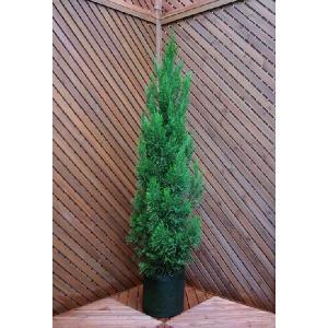 コニファー スパルタン150cm(コニファ 植木 庭木常緑 シンボルツリー クリスマスツリー)|finegarden