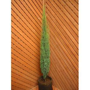 コニファー センチネル80cm(コニファー 庭木 植木 常緑樹 シンボルツリー 生垣)|finegarden