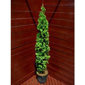 コニファー デグルーツスパイアー120cm(コニファー 庭木 植木 常緑樹 シンボルツリー 生垣)|finegarden