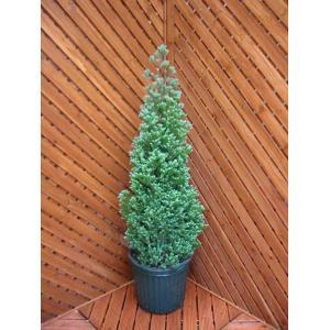 コニファー パープルフェザー80cm(コニファー 庭木 植木 常緑樹 シンボルツリー 生垣 クリスマスツリー)|finegarden