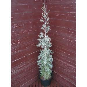 コニファー ブルーアイス120センチ(コニファー,庭木,植木,常緑樹,シンボルツリー,クリスマスツリー)|finegarden