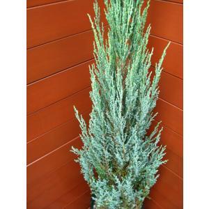 コニファー ブルーアロー80cm(コニファー,庭木,植木,常緑樹,シンボルツリー,クリスマスツリー)|finegarden|02