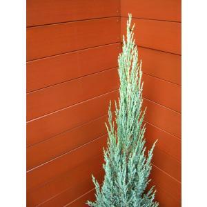 コニファー ブルーアロー80cm(コニファー,庭木,植木,常緑樹,シンボルツリー,クリスマスツリー)|finegarden|03