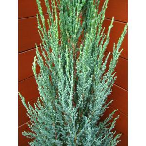 コニファー ブルーアロー80cm(コニファー,庭木,植木,常緑樹,シンボルツリー,クリスマスツリー)|finegarden|04