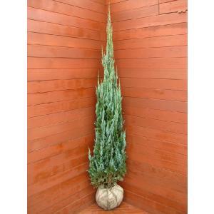コニファー ブルーエンジェル150cm(コニファー,庭木,植木,常緑樹,シンボルツリー,クリスマスツリー)|finegarden