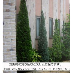 コニファー ブルーヘブン150cm(コニファー,庭木,植木,常緑樹,シンボルツリー,生垣) finegarden 04