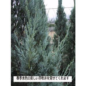 コニファー ブルーヘブン150cm(コニファー,庭木,植木,常緑樹,シンボルツリー,生垣) finegarden 06