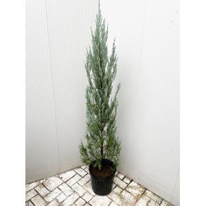 コニファー ムーングロウ80cm(コニファー,庭木,植木,常緑樹,シンボルツリー,クリスマスツリー)|finegarden