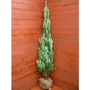 コニファー ムーングロウ150cm(コニファー,庭木,植木,常緑樹,シンボルツリー,クリスマスツリー)|finegarden