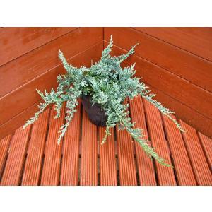 コニファー ウイルトニー(グランドカバー,庭木,植木,常緑樹,寄せ植え)|finegarden
