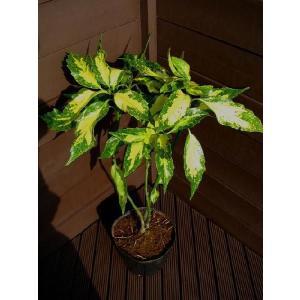 アオキ ピクチュラータ50cm(植木、庭木、常緑樹)|finegarden