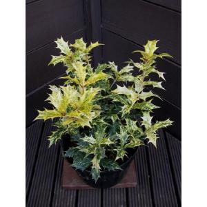 五色ヒイラギ  約15cm(ホーリー,ヒイラギ生垣,庭木,植木)|finegarden