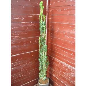立ち性ツゲスカイペンシル(植木,生垣,スカイペンシル生垣,常緑樹)|finegarden