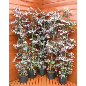 トキワマンサク5本セット(植木,常緑樹,生垣,植木,庭木)|finegarden