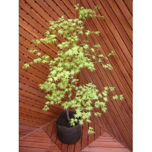 シギタツサワ(植木)|finegarden