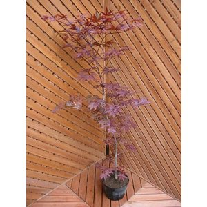 ノムラ100cm(植木)|finegarden