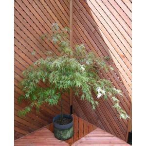 ベニシダレ(植木)|finegarden