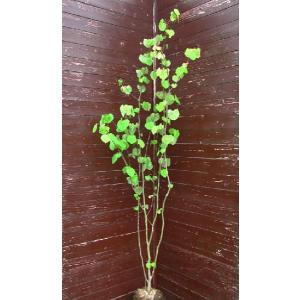 マルバノキ(シンボルツリー,植木)|finegarden