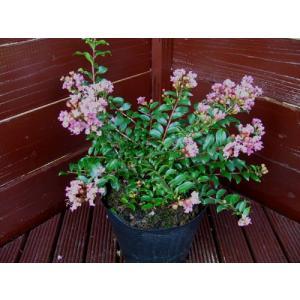 矮性サルスベリチカソー(植木)|finegarden