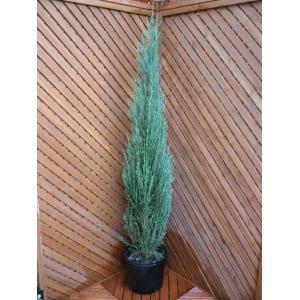 コニファー スカイロケット150cm(コニファ 植木 庭木常緑 シンボルツリー クリスマスツリー)|finegarden