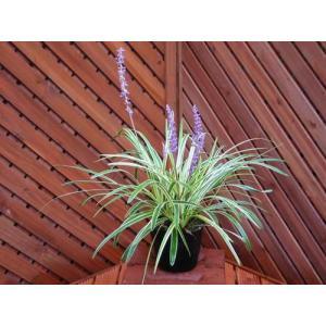 フイリヤブラン(植木)|finegarden
