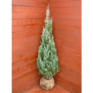 コニファー ウイッチタブルー120cm(コニファー 庭木 植木 常緑樹 シンボルツリー クリスマスツリー)|finegarden