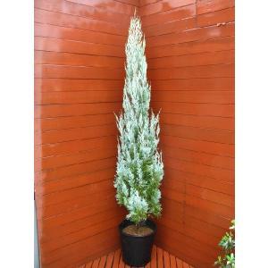 コニファー ウイッチタブルー170cm(コニファー 庭木 植木 常緑樹 シンボルツリー クリスマスツリー)|finegarden