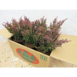 現品ウラジロモミ Can001 29(コニファー 庭木 植木 常緑樹シンブルツリー クリスマスツリー)|finegarden