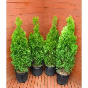コニファー エメラルドグリーン80cm4本セット(コニファー 庭木 植木 常緑樹 シンボルツリー クリスマスツリー)|finegarden