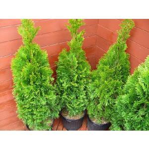 コニファー エメラルドグリーン80cm4本セット(コニファー 庭木 植木 常緑樹 シンボルツリー クリスマスツリー)|finegarden|02