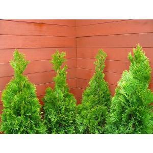 コニファー エメラルドグリーン80cm4本セット(コニファー 庭木 植木 常緑樹 シンボルツリー クリスマスツリー)|finegarden|03