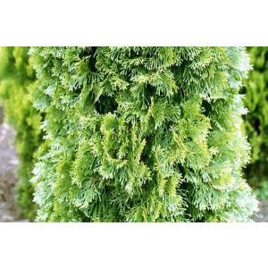 コニファー エメラルドグリーン80cm4本セット(コニファー 庭木 植木 常緑樹 シンボルツリー クリスマスツリー)|finegarden|05