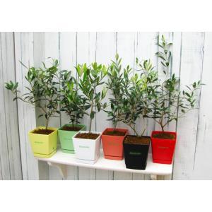送料無料  オリーブ  ルッカ 選べる6色鉢カラー(常緑樹 シンボルツリー 観葉植物 オリーブ オリーブ鉢植え オリーブ植木 オリーブの木)|finegarden|02