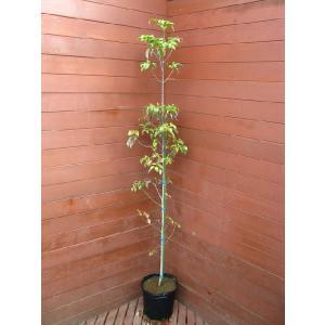 常緑ヤマボウシ(常緑ヤマボウシ,植木,庭木,常緑樹,シンボルツリー)|finegarden