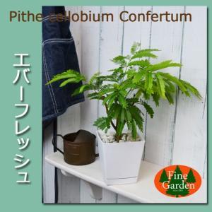 送料無料  エバーフレッシュ白い鉢入り(観葉植物 鉢植え ミニ)|finegarden