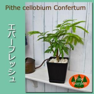 送料無料  エバーフレッシュ黒い鉢入り(観葉植物 鉢植え ミニ)|finegarden