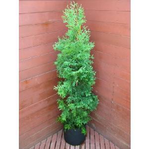 コニファー グリーンコーン100センチ(コニファー 庭木 植木 常緑樹シンブルツリー クリスマスツリー)|finegarden