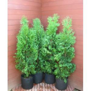 コニファー グリーンコーン4本セット(コニファー 庭木 植木 常緑樹シンブルツリー クリスマスツリー)|finegarden