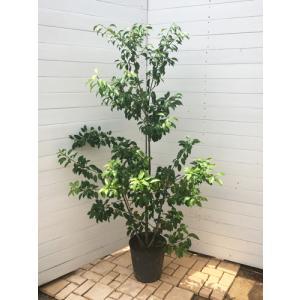 ソヨゴ 雌木(庭木 常緑樹 シンボルツリー ガーデニング)|finegarden