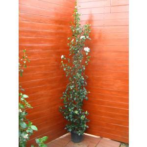 ビバーナムティヌス120cm(庭木,常緑樹,シンボルツリー,)|finegarden
