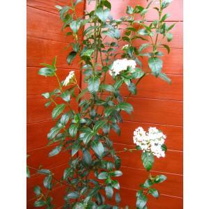 ビバーナムティヌス120cm(庭木,常緑樹,シンボルツリー,)|finegarden|02