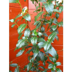ビバーナムティヌス120cm(庭木,常緑樹,シンボルツリー,)|finegarden|03