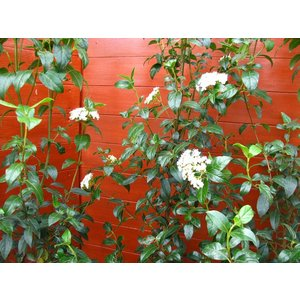 ビバーナムティヌス120cm(庭木,常緑樹,シンボルツリー,)|finegarden|04