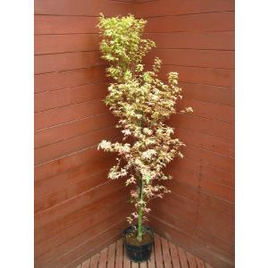 胡蝶の舞150cm(植木,庭木,もみじ)|finegarden