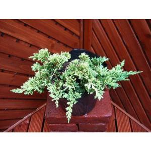 ゴールデンカーペット(コニファー,庭木,植木,常緑樹,ガーデニング)|finegarden