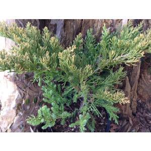 ソナレ(コニファー,庭木,植木,常緑樹,ガーデンニング)|finegarden