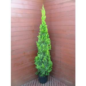コニファー スパルタンオウレア150cm(コニファ 植木 庭木常緑 シンボルツリー クリスマスツリー)|finegarden