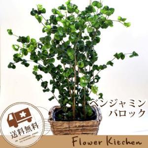 観葉植物 ベンジャミン バロック 即日発送 グリーンギフト|fkjiyugaoka